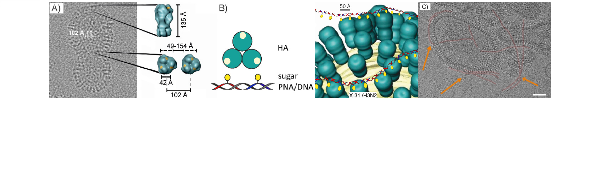 Sialyl-LacNAc-PNA∙DNA concatamers.png
